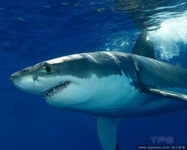 300條大白鯊目擊 美關閉60沙灘