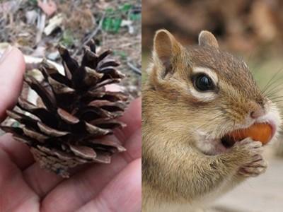 松果硬梆梆怎麼吃?被松鼠吃完後居然會變成..炸、炸蝦
