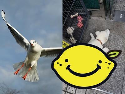 「我是一隻小小鳥」汪汪連睡覺也不忘圓自己想飛的夢