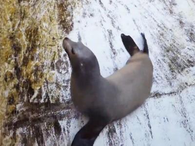 愛上乾涸的泳池!海獅趁水族館大掃除偷玩「溜溜樂」❤