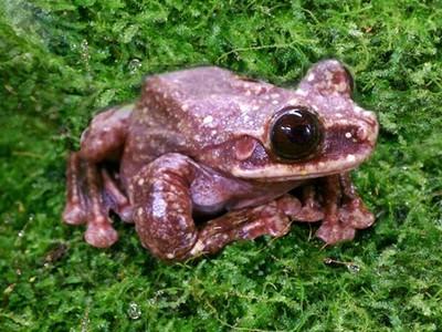 最後一隻「巧克力火腿蛙」,學者賣力搶救仍滅絕