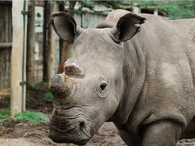 全世界只剩3隻白犀牛..夥伴在世界犀牛日被槍殺鋸角