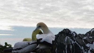 用水泥像吸引築巢,雄塘鵝愛上一動也不動的「牠」