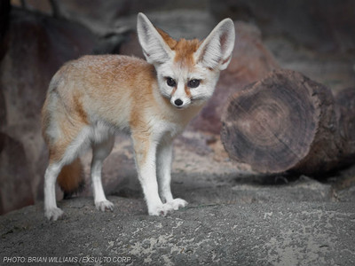 耳廓狐大發起床氣,完美示範最萌的暴跳如雷
