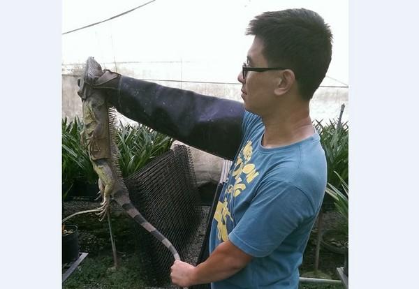 鹽埔分隊捕獲1米長綠鬣蜥。(圖/翻攝自屏東縣政府)