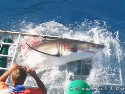 大白鯊浴血撞進觀鯊籠,驚恐畫面訴說海洋的悲哀