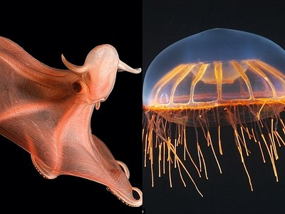 深海大花枝到底長怎樣?海底生物們都美到令人屏息