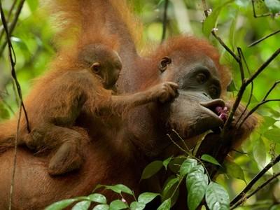逃過棕櫚油商無良縱火,猩猩母子終於回歸森林享用果實