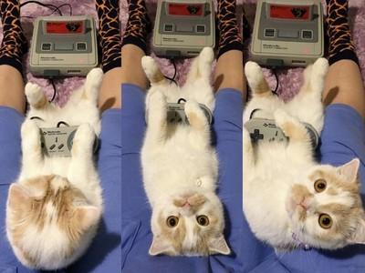 躺在主人肉腿上打game~萌貓愛耍廢還用眼神放電❤