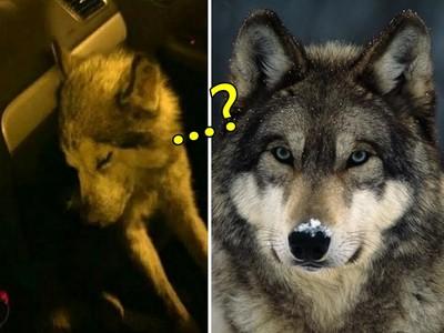 流浪哈士奇靈性跳上他的車..那是狼啊你還活著嗎?!
