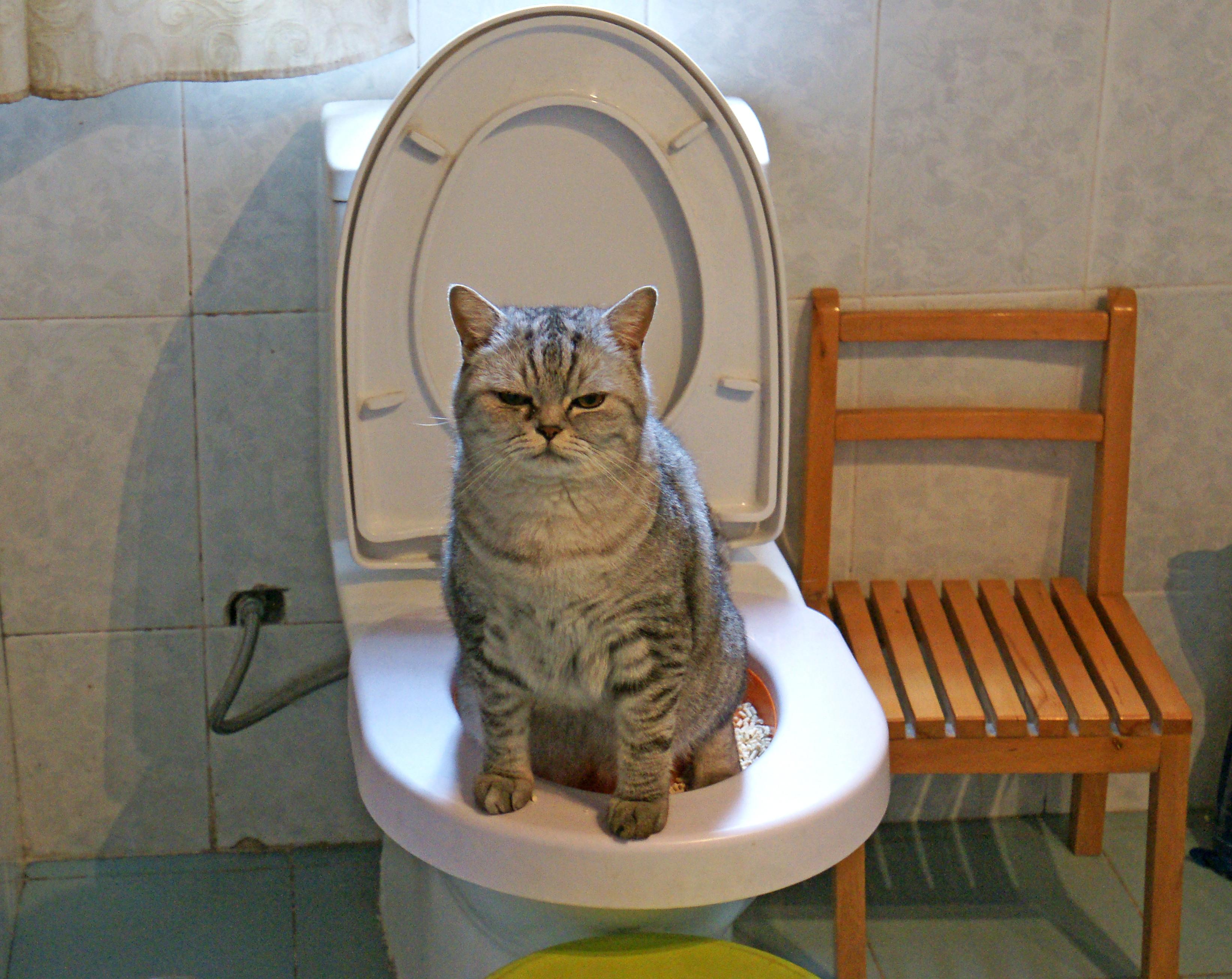 貓咪到馬桶上廁所。(圖/視覺中國CFP/示意圖)