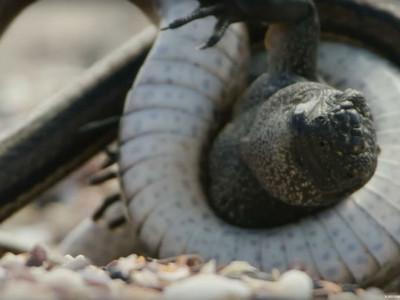 綠鬣蜥寶寶勇闖沙蛇木人陣 跌倒被纏住脖子…牠能逃出嗎?