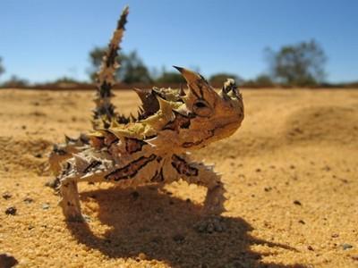 沙漠魔物「仙人掌龍蜥」,荊棘皮膚能榨乾沙中水份