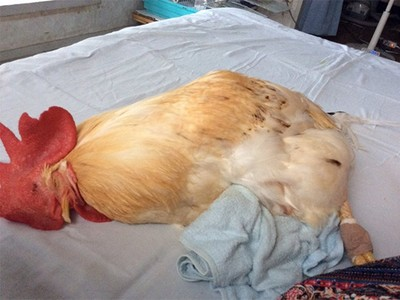 公雞「爽睡」暖爐前面,等等回來看牠應該就熟了(||゚Д゚)