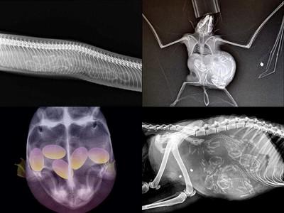 喵咪胎兒塞滿滿!「動物X光照」讓人無法移開視線~