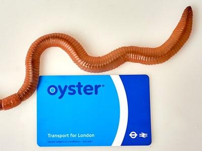 英國蚯蚓「比臉還大」,為什麼散個步就會遇到金氏世界記錄啊啊