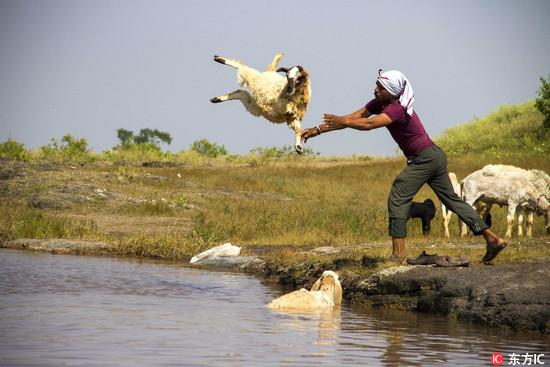 印度人洗羊出奇招!舉高高+大力丟 村民:去灰塵啦