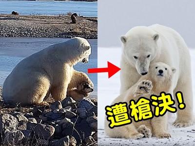北極熊「萌影片」背後慘忍真相:人類餵食害死熊全家