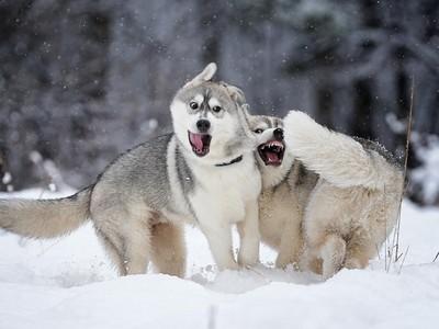 難怪月月這麼笨!15張圖認證狼血統其實常常出包XD