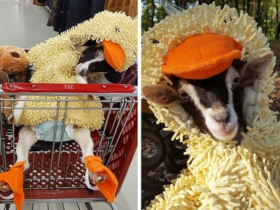 衝撞牆角還嚎啕大哭…只有鴨子套裝能讓小山羊安穩睡覺!