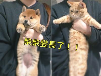 柴柴傷後復健「前後拉長長」,仔細看..咦怎麼根本是貓