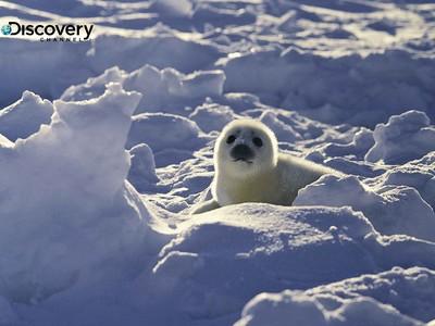 白萌小海豹只能活12天:獵人敲暈、剝皮、放置等死猶如虐殺