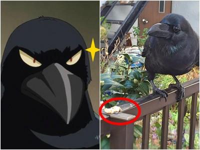 日網友拍攝烏鴉覓食 烏鴉看她可憐把嘴裡食物全給她..