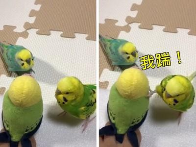 小鸚鵡被玩偶嚇到秒變8+9 「老大這什麼,踹他!」