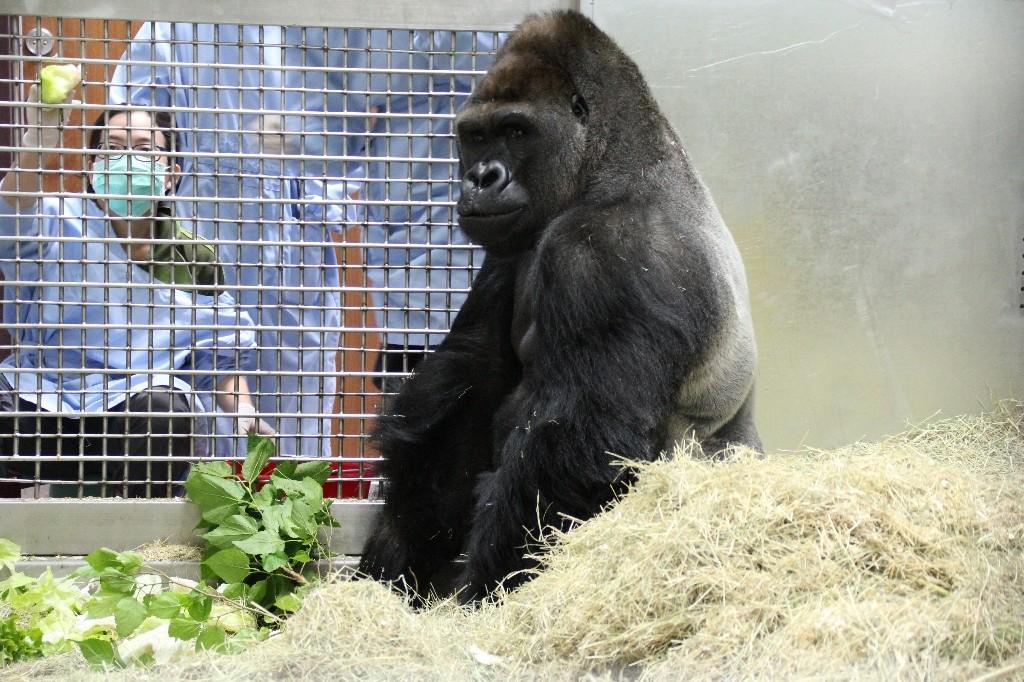 台北市立動物園金剛猩猩迪亞哥。(圖/台北市立動物園提供)