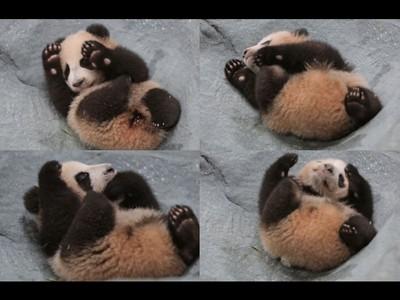 耍廢動圖包最佳選擇!上海熊貓「花生」萌壞你的心