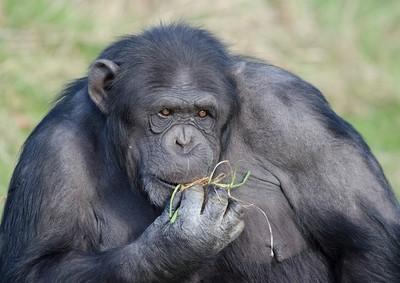 不是看臉! 研究:黑猩猩「認屁屁」功力更勝於認臉