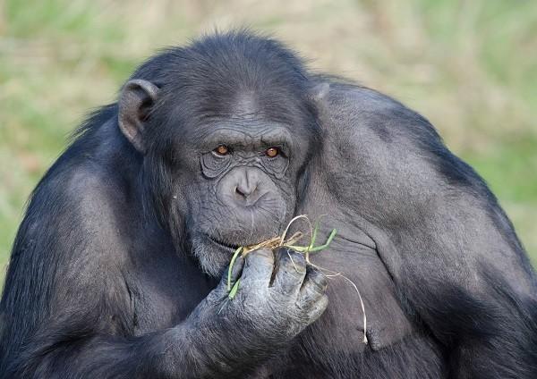 美国在赖比瑞亚野放实验室猩猩,惊传变成食人族!