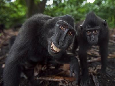 世上第二快樂的動物!黑冠獼猴每張照片都「露齒憨笑」❤