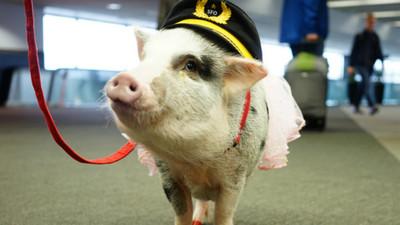 粉紅豬「麗露」陪你等飛機!煩躁的候機時間被瞬間淨化
