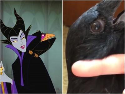 你看過烏鴉耳朵嗎?沒想到牠的耳洞這麼深