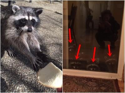 一時興起拿吐司餵浣熊 從那天起,牠每晚7:30率兄弟來敲門