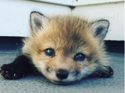 注視她的無辜眼神…誰忍心?狐狸逃出「皮毛農場」瞇眼笑了