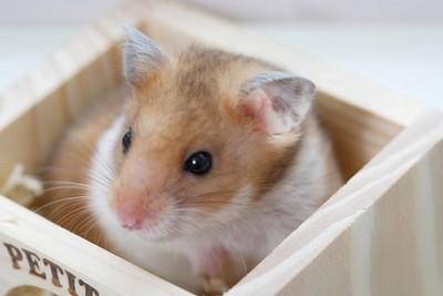 手挖來挖去是在找食物? 飼主必知鼠鼠「14種肢體語言」