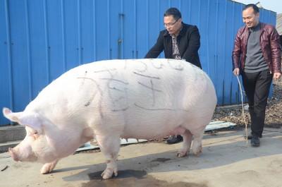 大陸豬肉價格狂漲!農家養500公斤巨豬