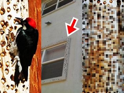 啄木鳥「狂蛀」住宅木牆塞滿噁肥蟲!背後原因讓人類慚愧