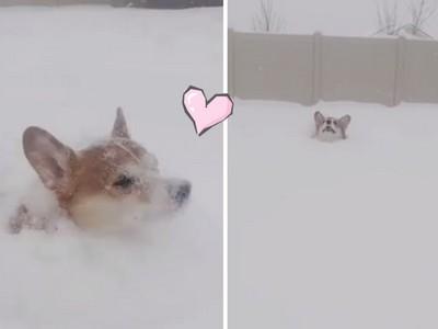 柯基雪地跑跑!邊吃雪邊扭屁屁前進太可愛啦啊啊啊