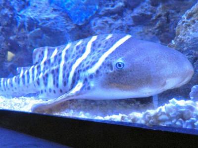 斑馬鯊和伴侶分開5年後「自體產子」 一驗DNA…只有母親的
