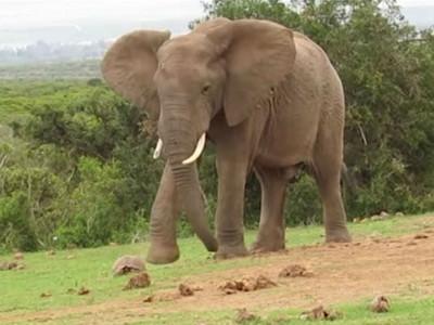 烏龜虧慘!走太慢被大象當足球踢
