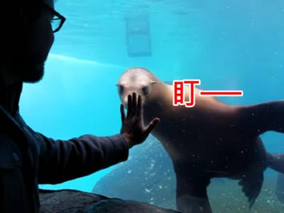海獅隔窗跟遊客玩超嗨 跟著手手晃來晃去好像遙控