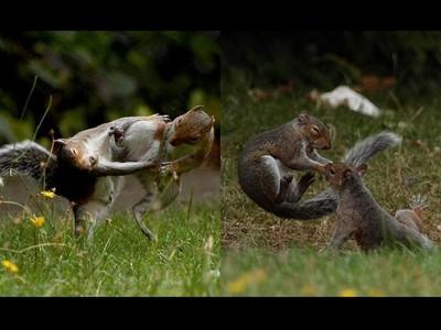 來真的!松鼠在後院玩瘋,攝影師躲屋內偷拍雙鼠格鬥