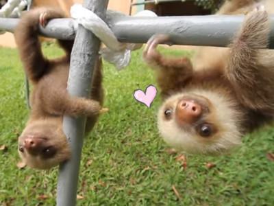 滿園樹懶寶寶曾是孤兒,被救後超愛說話 : 給…我…抱…抱