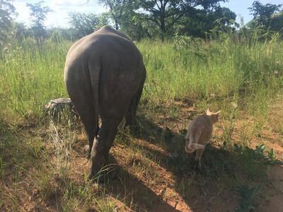 犀牛孤兒院撿到貓!貓犀一窩分不開,睡覺、散步都黏TT
