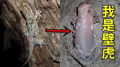新發現「斷膚求生」壁虎,鱗片下嫩肉超古溜...一被抓就滑走