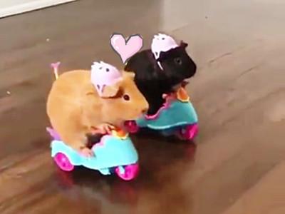 天竺鼠「騎重機互撞」!結果是毛毛療癒碰碰車啦XD