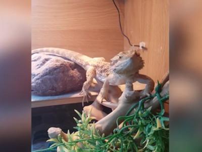 向小蜥蜴打招呼!想不到下一秒牠衝過來跟我揮揮手